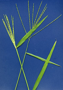 Digitaria sanguinalis (Large Crabgrass, Hairy Crabgrass)