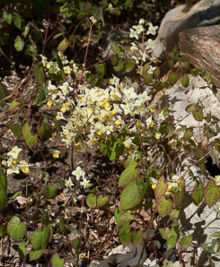 Epimedium × (Bicolor Barrenwort)