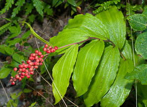 Maianthemum racemosum (false Solomon's seal, treacleberry, Solomon's plume, false spikenard)