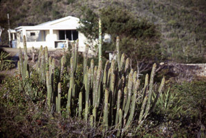 Marginatocereus marginatus (Mexican Fence Post Cactus, Organ Pipe Cactus, Mexican Fencepost)