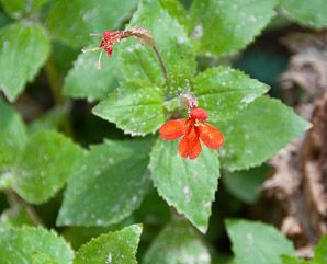 Mimulus cardinalis (Cardinal Monkeyflower, Scarlet Monkeyflower)