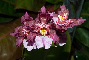 Oncidium Lisa (Dancing Lady)