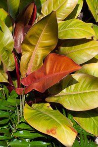 Philodendron spp. (Philodendron 'Prince of Orange')