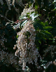 Pieris japonica (Dorothy Wyckoff Andromeda, Lily-of-the-valley Bush, Japanese Pieris, Japanese Andromeda)