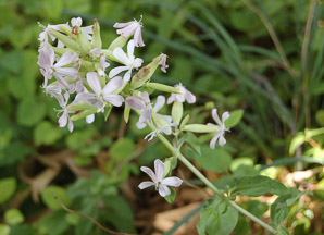 Saponaria officinalis (Common Soapwort, Bouncing Bet, Soapwort)