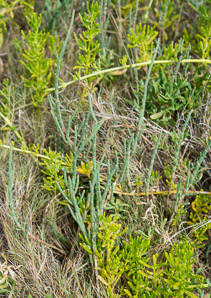 Sarcocornia perennis (Perrenial Glasswort, Virginia Glasswort)