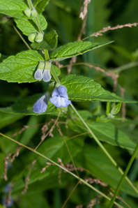 Scutellaria galericulata (Common Skullcap, Marsh Skullcap, Hooded Skullcap)