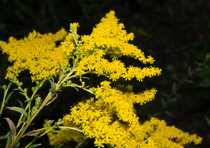 Solidago juncea (Early Goldenrod)