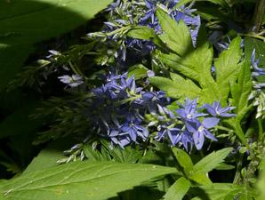 Veronica austriaca (Broadleaf Speedwell)