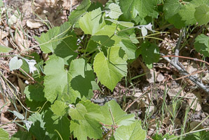 Vitis arizonica (Arizona grape, canyon grape)