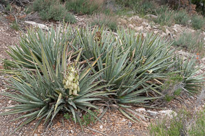 Yucca glauca (Narrow-leaved Yucca, Soapweed Yucca, Soapweed, Beargrass)