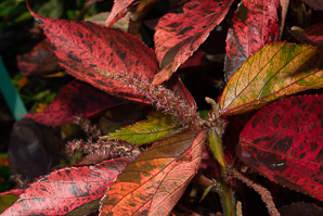 Acalypha amentacea (Copper Leaf, Copperleaf)