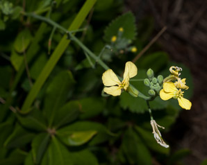 Brassica juncea (Brown Mustard)