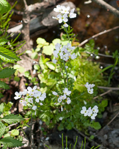 Cardamine pratensis (Cuckoo Flower, Lady's Smock)