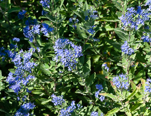 Caryopteris × (Blue Beard)