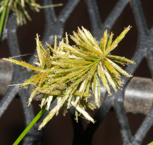 Cyperus strigosus (Umbrella Sedge)