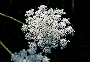 Daucus carota (Queen Anne's Lace, Wild Carrot, Bird's Nest, Bishop's Lace)