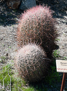 Ferocactus cylindraceus (Compass Barrel, Fishhook Cactus, Barrel Cactus, California Barrel Cactus, Biznaga, Cliff Barrel Cactus, Compass Cactus, Desert Barrel Cactus, Golden-spined Barrel Cactus, Le Conte Barrel Cactus, Spiny Barrel Cactus)