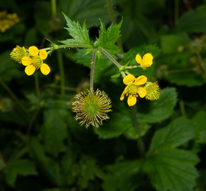 Geum aleppicum (yellow avens, common avens)