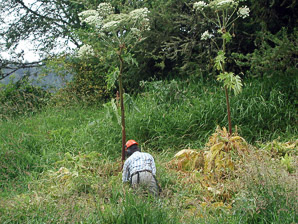 Heracleum mantegazzianum (giant hogweed, cartwheel-flower, wild parsnip, white rhubarb, giant cow parsnip, giant cow parsley)