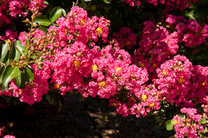 Lagerstroemia indica (Crape Myrtle 'Red Rocket')