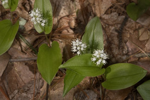 Maianthemum canadense (Canada Mayflower, False Lily-of-the-valley)