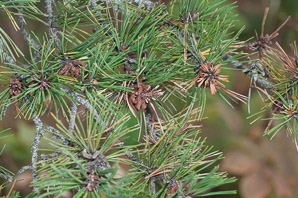 Pinus rigida (Pitch Pine)
