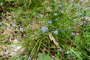 Sisyrinchium mucronatum (Blue-eyed Grass)