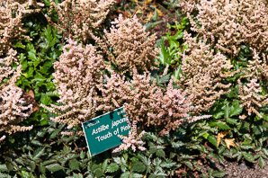 Astilbe japonica (False Spiraea 'Touch of Pink')