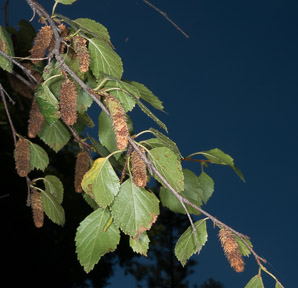 Betula occidentalis (Water Birch)