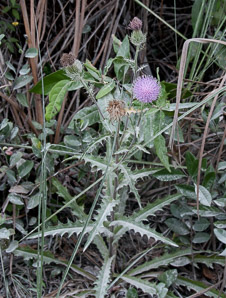 Cirsium horridulum (Purple Thistle)