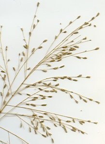 Eragrostis pilosa (India lovegrass)