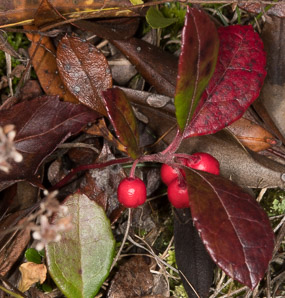 Gaultheria procumbens (Creeping Wintergreen, Wintergreen, Eastern Teaberry, Checkerberry, Boxberry, American Wintergreen)