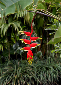 Heliconia rostrata (False Bird of Paradise, Hanging Lobster Claw, Painted Lobster Claw)