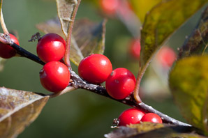 Ilex verticillata (Winterberry, Common Winterberry)
