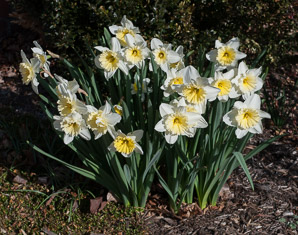 Narcissus (daffodil, narcissus)
