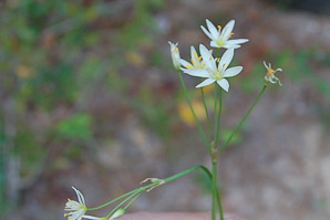 Nothoscordum bivalve (False Garlic)