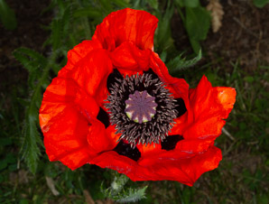 Papaver rhoeas (corn poppy, corn rose, field poppy, flanders poppy, red poppy, red weed, coquelicot)