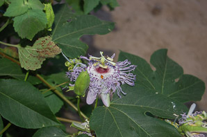 Passiflora edulis (Passion Fruit)