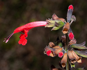 Salvia coccinea (tropical sage)