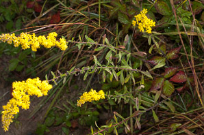 Solidago nemoralis (Gray Goldenrod, Field Goldenrod)