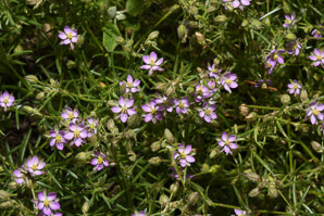 Spergularia rubra (Roadside Sand-spurry)