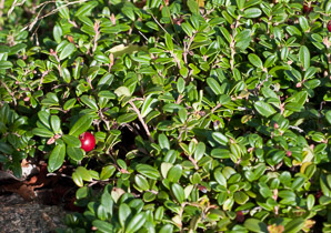 Vaccinium vitis-idaea (Lingonberry, Mountain Cranberry, Cowberry, Foxberry, Red Whortleberry, Low Bush Cranberry, Low Bush Partridgeberry, Low Bush Cranberry or Partridgeberry, Partridgeberry)