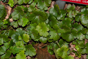 Waldsteinia fragarioides (Barren Strawberry)