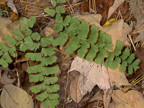 Adiantum pedatum (northern maidenhair fern)