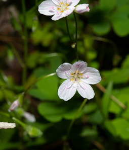 Claytonia virginica (Virginia Spring-beauty)