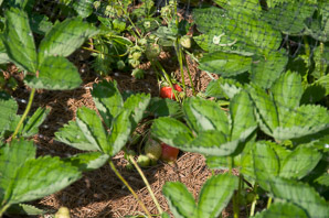 Fragaria ×ananassa (Strawberry)