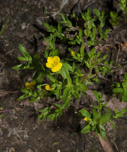 Gratiola aurea (Golden Hedge-hyssop)
