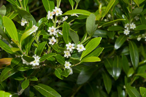 Ilex glabra (inkberry, gallberry, bitter gallberry, evergreen winterberry, inkberry holly, Appalachian tea)