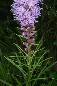 Liatris spicata (Gay Feather, Blazing Star, Dense Blazing Star)